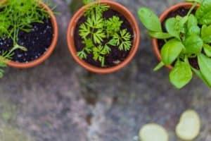 Herb garden grows easily | Herbs Gardens | Herbs for Cooking